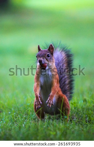 red squirrel (Sciurus) funny standing on its hind legs and holding a hazelnut in the mouth - stock photo