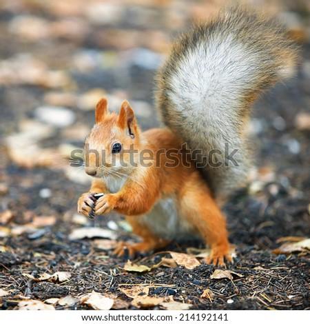 Red squirrel Sciurus vulgaris eating sunflower seeds in the autumn forest - stock photo