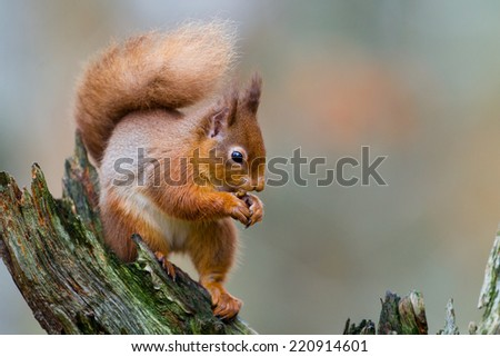 Red squirrel, Sciurus vulgaris, in the Highlands of Scotland