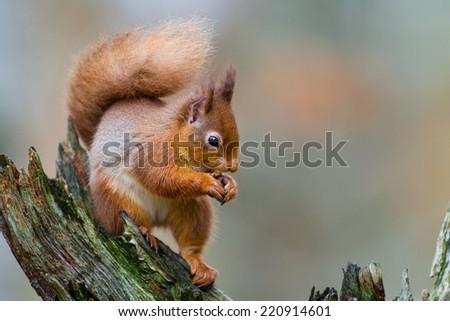 Red squirrel, Sciurus vulgaris, in the Highlands of Scotland - stock photo