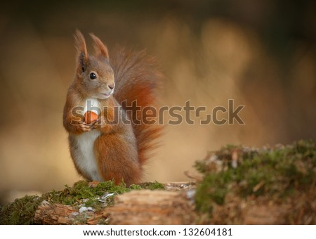 Red squirrel, Sciurus vulgaris, looking right and holding a hazelnut - stock photo