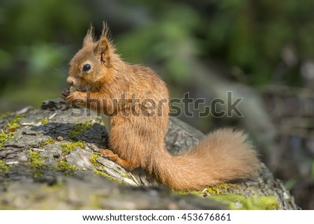 Red squirrel, Sciurus vulgaris, on a tree trunk, eating a nut