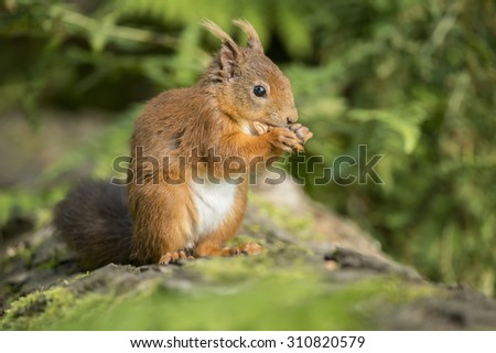 Red squirrel, Sciurus vulgaris, sitting on a tree trunk, eating a nut