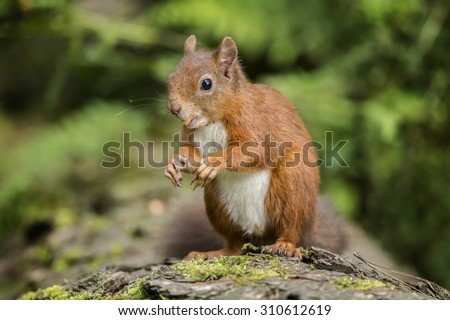 Red squirrel, Sciurus vulgaris, sitting on a tree trunk with a nut in its mouth