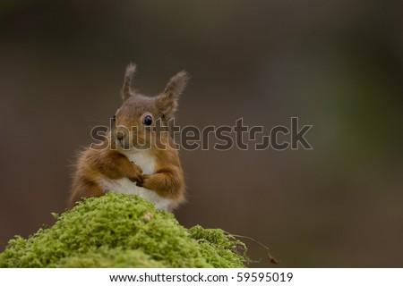 Red Squirrel (Sciurus vulgaris) sitting on mossy branch. Loch Awe, nr Oban, Scotland, UK - stock photo