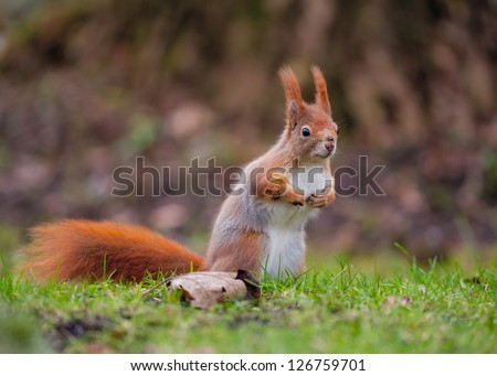 Red squirrel, Sciurus vulgaris, standing for a better view on green grass - stock photo