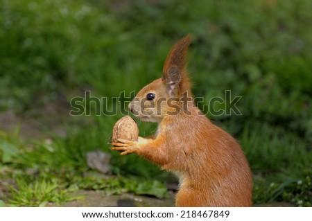 Red Squirrel (Sciurus vulgaris) taken at forest - stock photo