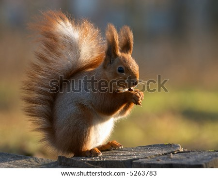 Red squirrel siting on the stump and eating a nut