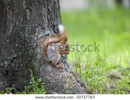 red squirrel sits on a tree and eats a nut