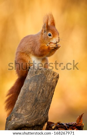 Red squirrel sitting and eating his hazelnut
