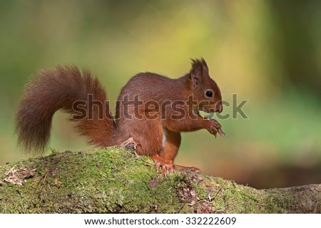 Red Squirrel sitting on branch in forest/Red Squirrel/Red Squirrel (Sciurus Vulgaris) - stock photo