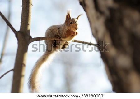 Red Squirrel sitting on the tree  - stock photo