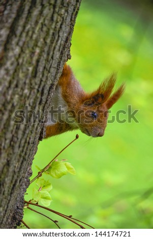 Red squirrel sitting on the tree looking