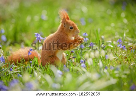Red squirrel sitting spring flowers and eating an acorn - stock photo