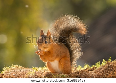 red squirrel standing in the sun