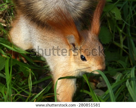 Red squirrel standing into plants looking in the lens - stock photo
