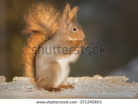 red squirrel standing on ice - stock photo