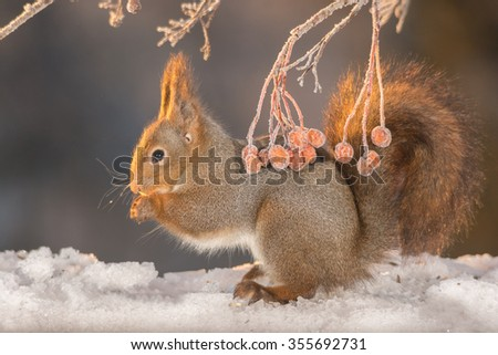 red squirrel standing on snow in sun light with frozen berries - stock photo