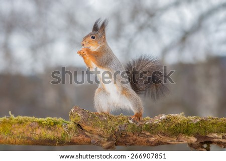 red squirrel standing on tree with moss