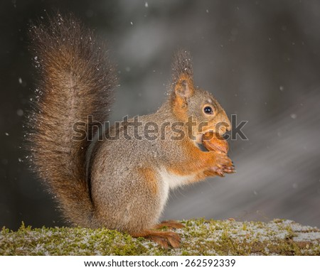 red squirrel standing on tree with moss and nut in mouth while it is snowing