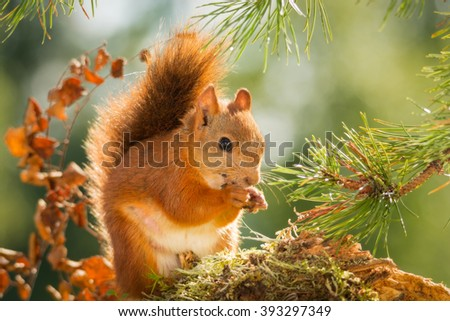 red squirrel under a  branch with back light