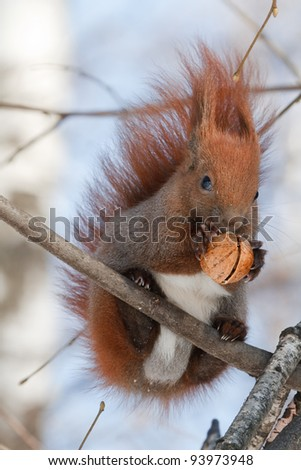 Red squirrel with a bushy tail sits on a tree and gnaws a nut - stock photo