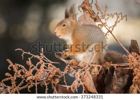 red squirrel with branches and ice - stock photo
