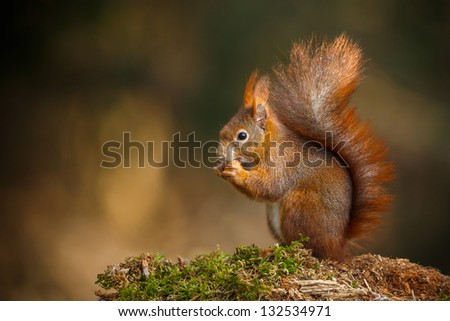Red squirrel with bushy tail munching on a nut - stock photo
