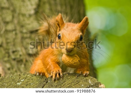 red squirrel with nut in a mouth - stock photo