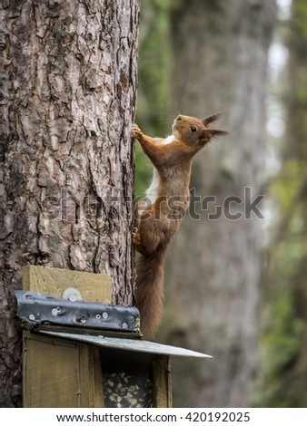 Red Squirrels at feeders at Newborough Forest Anglesey island North Wales UK