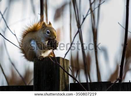 Red squirrels can be easily identified from other North American tree squirrels by their smaller size, territorial behavior and reddish fur with a white venter (underbelly).  - stock photo