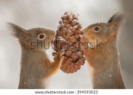 red squirrels  holding a pineapple with snow - stock photo
