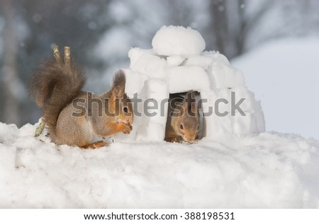 red squirrels in snow with igloo and camp fire  - stock photo