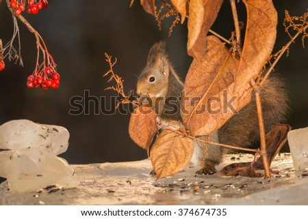red squirrels on ice with leaves and berries  - stock photo