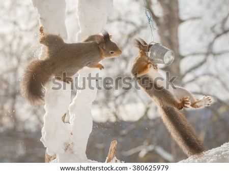 red squirrels on tree branches with snow reaching for food can - stock photo