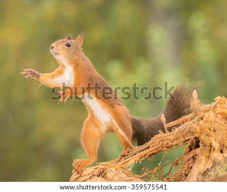 red squirrels standing on tree branch reaching - stock photo