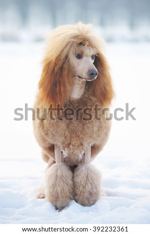 Red Standard Poodle dog sitting outdoors on the snow