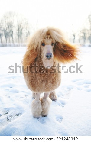 Red Standard Poodle dog staying outdoors on the snow