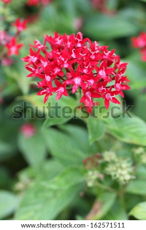 Red Star Cluster Flowers - stock photo