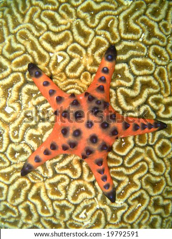 Red starfish on a Brain Coral - stock photo