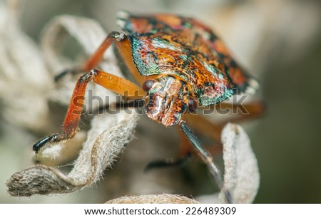 Red Stink Bug - stock photo