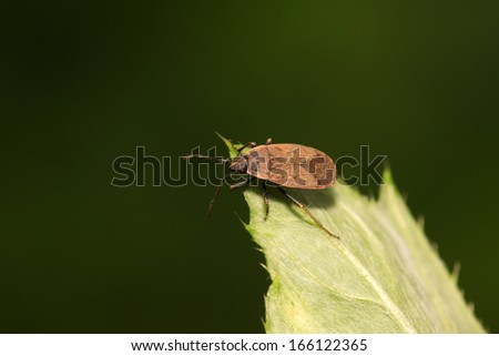 red stinkbug on green leaf in the wild
