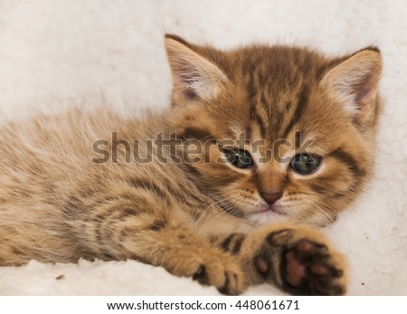 Red striped British kitten