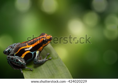 Red striped poison dart frog , ranitomeya amazonica. A poisonous small rainforest animal living in the Amazon rain forest in Peru. - stock photo