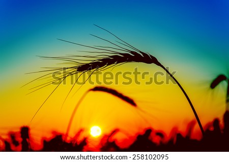 red sunset over field with harvest - stock photo