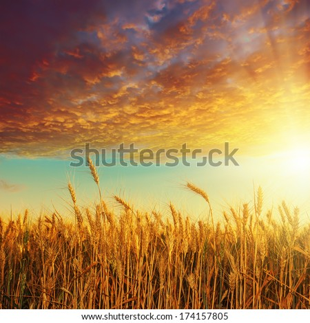 red sunset over golden harvest - stock photo