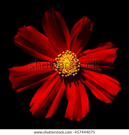 Red surreal flower Primula macro isolated on black - stock photo