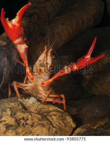 red swamp crawfish (Procambarus clarkii) in defense position underwater - stock photo
