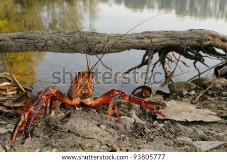red swamp crawfish (Procambarus clarkii) in its  habitat - stock photo