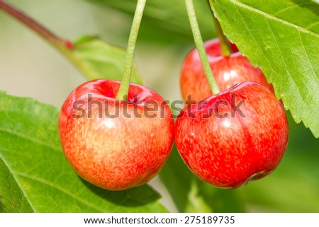 Red sweet cherry fruit on the tree